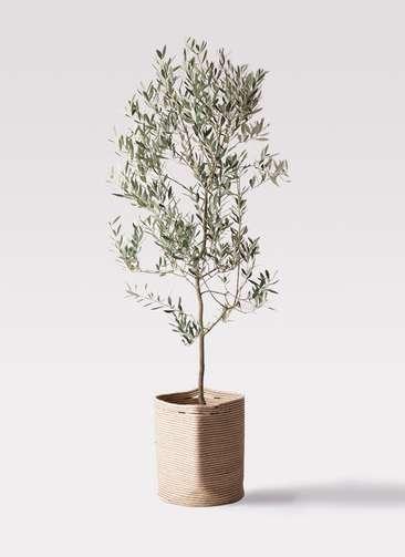 観葉植物 オリーブの木 10号 ミッション リブバスケットNatural 付き