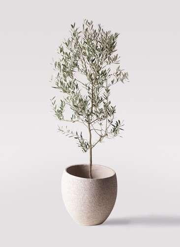 観葉植物 オリーブの木 10号 ミッション エコストーンLight Gray 付き