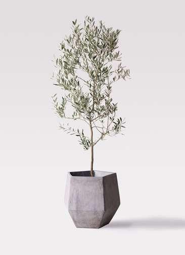観葉植物 オリーブの木 10号 ミッション ファイバークレイGray 付き