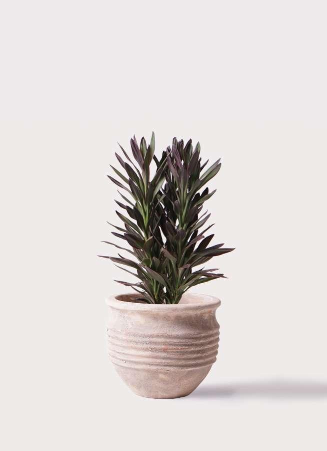 観葉植物 コルディリネ (コルジリネ) サンゴ 7号 テラアストラ リゲル 赤茶色 付き