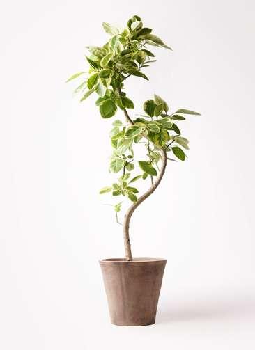 観葉植物 フィカス アルテシーマ 10号 曲り ルーガ アンティコ ソリッド 付き