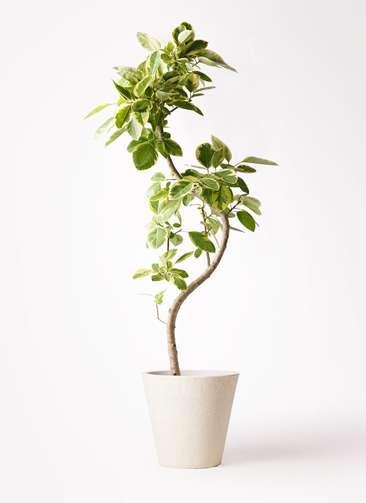 観葉植物 フィカス アルテシーマ 10号 曲り フォリオソリッド クリーム 付き
