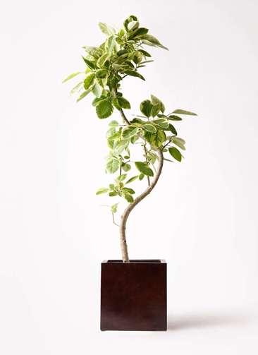 観葉植物 フィカス アルテシーマ 10号 曲り MOKU キューブ 付き