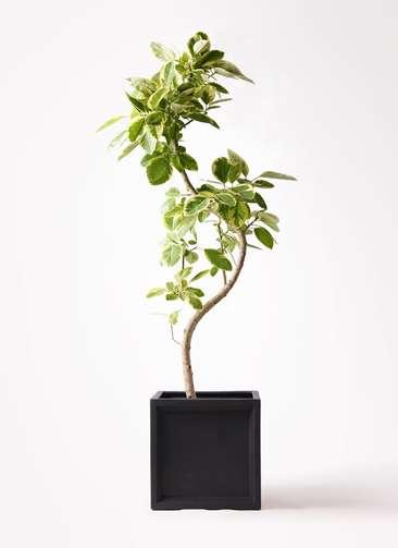 観葉植物 フィカス アルテシーマ 10号 曲り ブリティッシュキューブ 付き