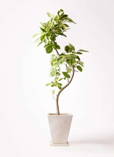観葉植物 フィカス アルテシーマ 10号 曲り スクエアハット 白 付き