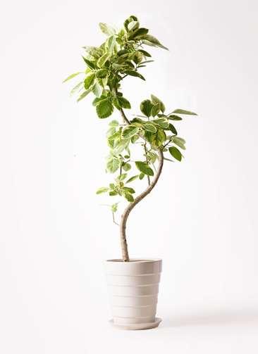 観葉植物 フィカス アルテシーマ 10号 曲り サバトリア 白 付き