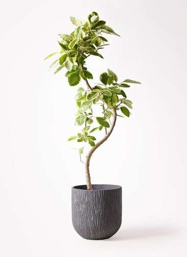 観葉植物 フィカス アルテシーマ 10号 曲り カルディナダークグレイ 付き