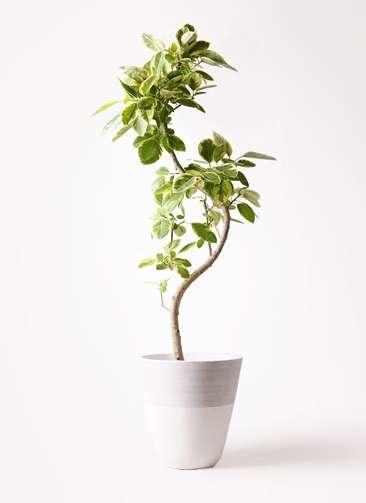 観葉植物 フィカス アルテシーマ 10号 曲り ジュピター 白 付き