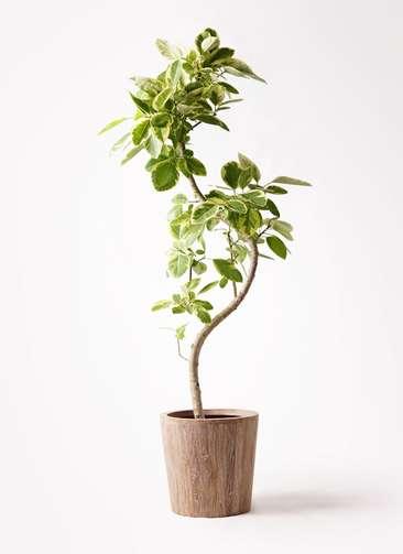 観葉植物 フィカス アルテシーマ 10号 曲り ウッドプランター 付き
