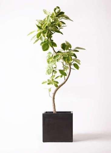観葉植物 フィカス アルテシーマ 10号 曲り ベータ キューブプランター 黒 付き