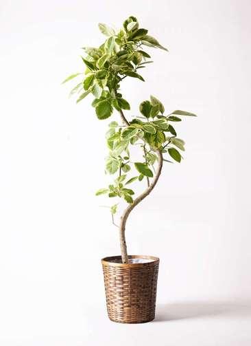 観葉植物 フィカス アルテシーマ 10号 曲り 竹バスケット 付き