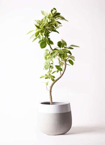 観葉植物 フィカス アルテシーマ 10号 曲り ファイバーストーンタウルス ミドル 白 付き