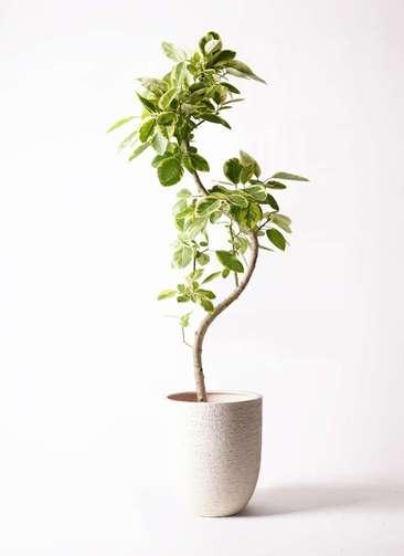 観葉植物 フィカス アルテシーマ 10号 曲り ビアスアルトエッグ 白 付き