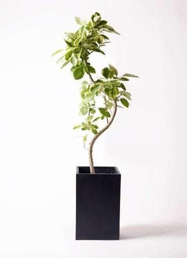 観葉植物 フィカス アルテシーマ 10号 曲り セドナロング 墨 付き