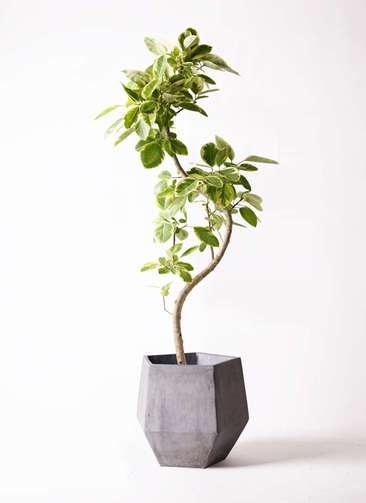 観葉植物 フィカス アルテシーマ 10号 曲り ファイバークレイGray 付き