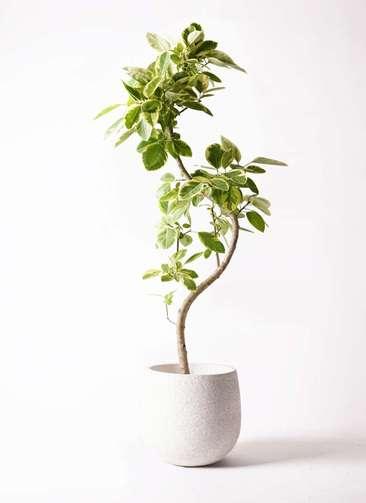 観葉植物 フィカス アルテシーマ 10号 曲り エコストーンwhite 付き