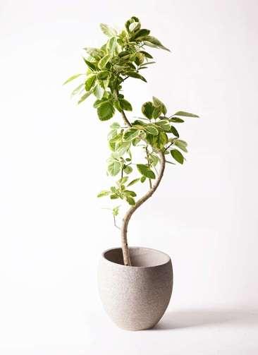 観葉植物 フィカス アルテシーマ 10号 曲り エコストーンLight Gray 付き