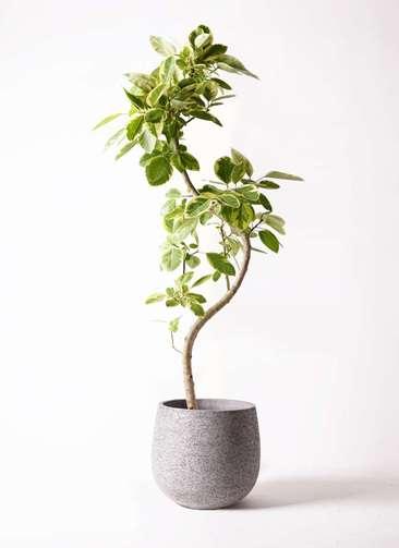 観葉植物 フィカス アルテシーマ 10号 曲り エコストーンGray 付き