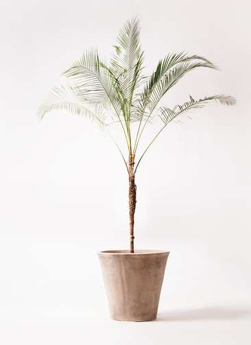 観葉植物 ヒメココス 10号 ルーガ アンティコ ソリッド 付き