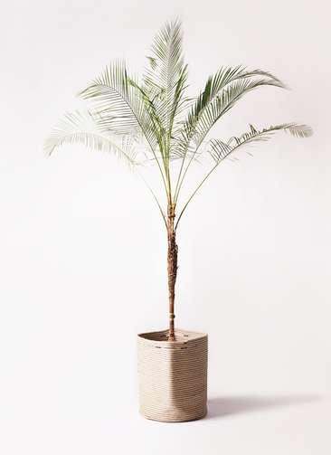 観葉植物 ヒメココス 10号 リブバスケットNatural 付き