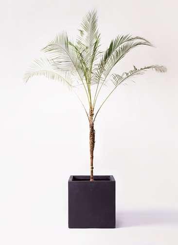 観葉植物 ヒメココス 10号 ベータ キューブプランター 黒 付き