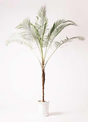 観葉植物 ヒメココス 10号 プラスチック鉢