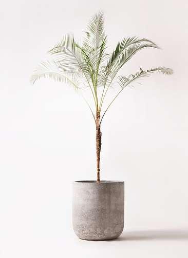 観葉植物 ヒメココス 10号 エルバ 白 付き
