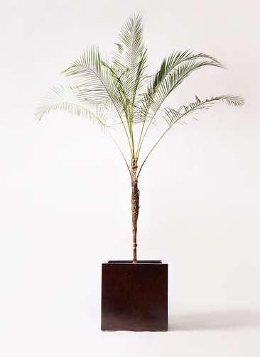 観葉植物 ヒメココス 10号 MOKU キューブ 付き