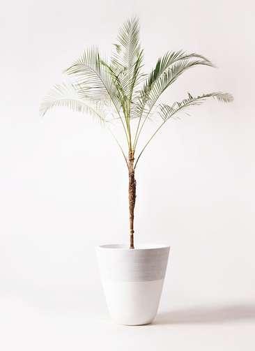 観葉植物 ヒメココス 10号 ジュピター 白 付き