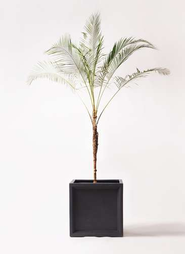 観葉植物 ヒメココス 10号 ブリティッシュキューブ 付き