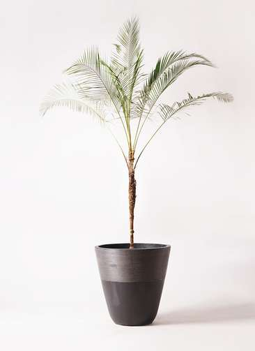 観葉植物 ヒメココス 10号 ジュピター 黒 付き