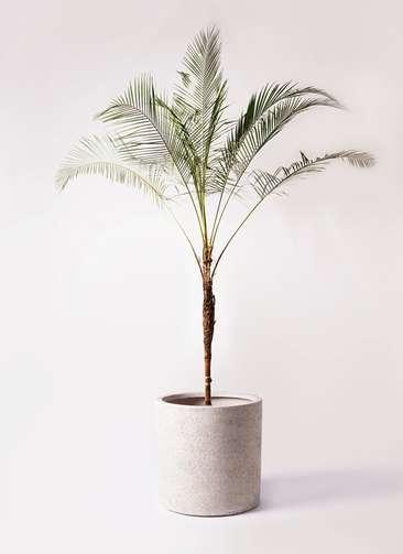 観葉植物 ヒメココス 10号 サンディ シリンダー 白 付き