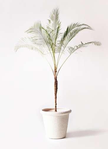 観葉植物 ヒメココス 10号 ビアスリムス 白 付き