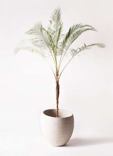 観葉植物 ヒメココス 10号 エコストーンLight Gray 付き