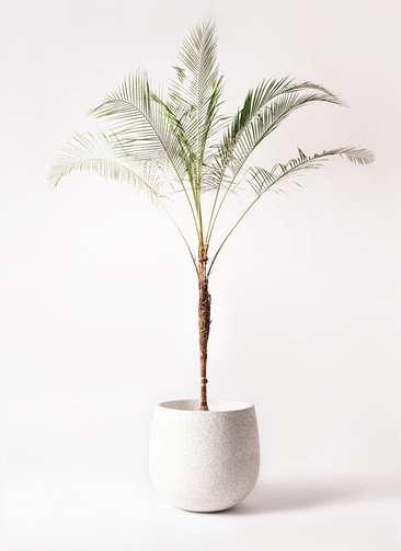 観葉植物 ヒメココス 10号 エコストーンwhite 付き