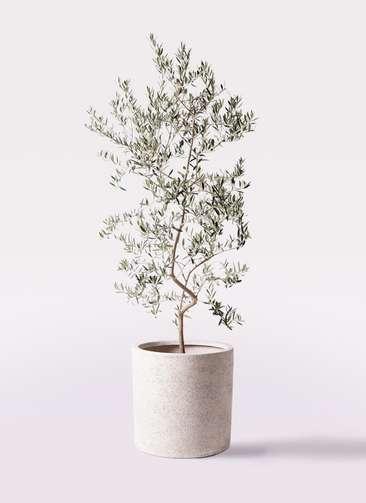 観葉植物 オリーブの木 10号 ペンドリノ サンディ シリンダー 白 付き