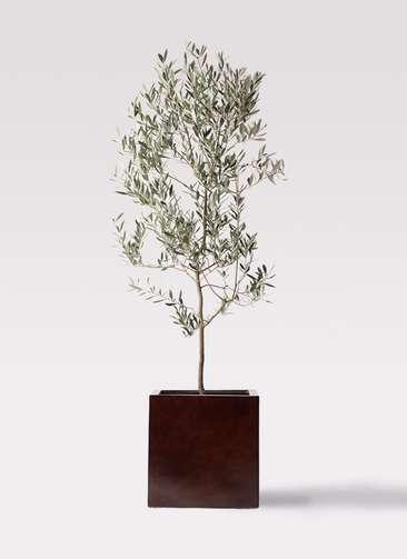 観葉植物 オリーブの木 10号 ミッション MOKU キューブ 付き