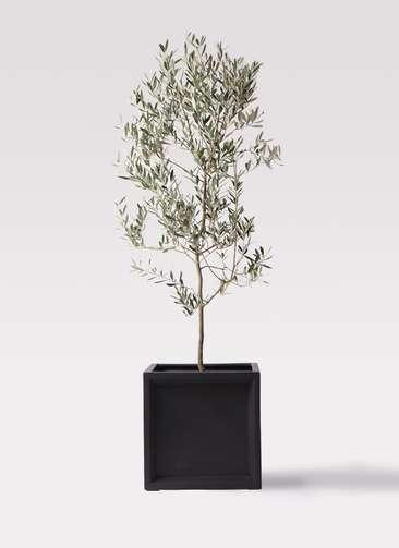 観葉植物 オリーブの木 10号 ミッション ブリティッシュキューブ 付き