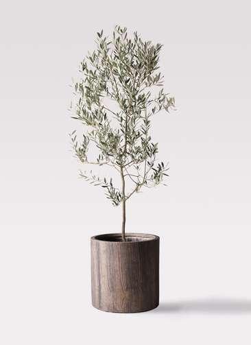 観葉植物 オリーブの木 10号 ミッション アルファシリンダープランター 付き