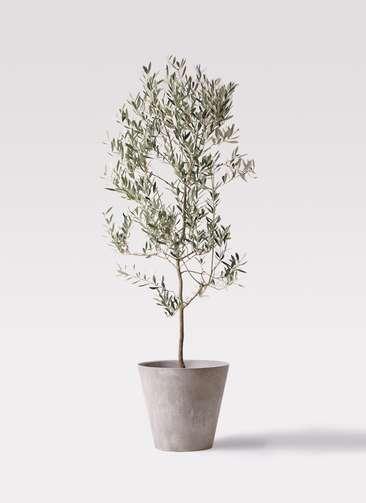 観葉植物 オリーブの木 10号 ミッション アートストーン ラウンド グレー 付き