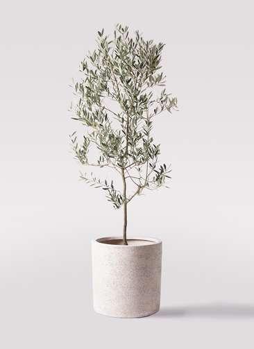 観葉植物 オリーブの木 10号 ミッション サンディ シリンダー 白 付き