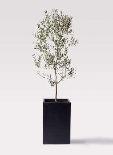 観葉植物 オリーブの木 10号 ミッション セドナロング 墨 付き