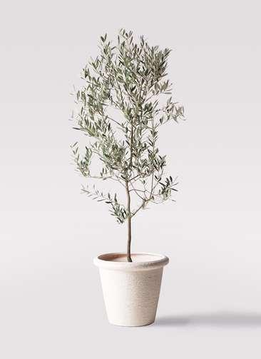 観葉植物 オリーブの木 10号 ミッション ビアスリムス 白 付き