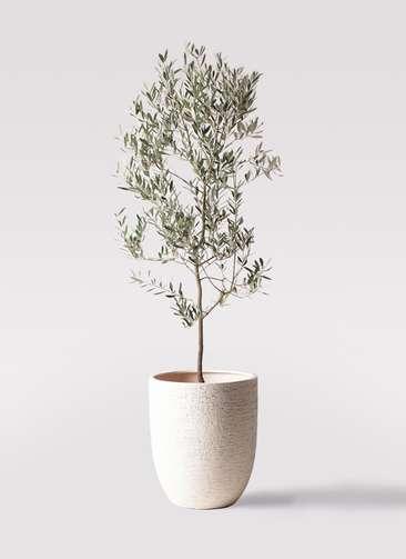 観葉植物 オリーブの木 10号 ミッション ビアスアルトエッグ 白 付き