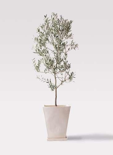 観葉植物 オリーブの木 10号 ミッション スクエアハット 白 付き