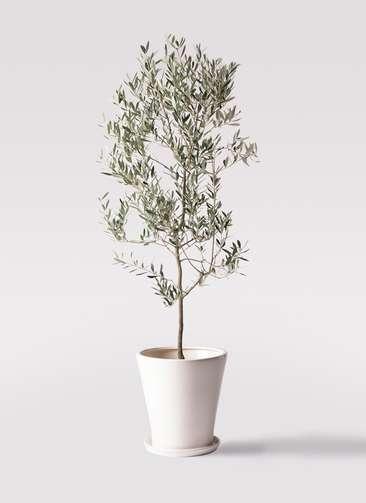 観葉植物 オリーブの木 10号 ミッション サブリナ 白 付き