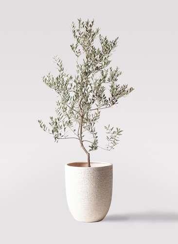 観葉植物 オリーブの木 10号 レッチーノ ビアスアルトエッグ 白 付き