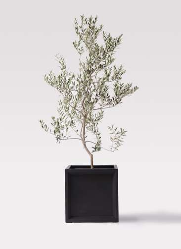 観葉植物 オリーブの木 10号 レッチーノ ブリティッシュキューブ 付き