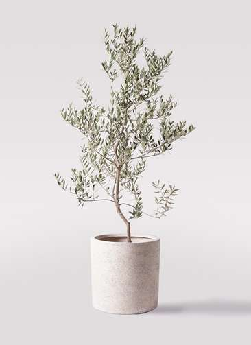 観葉植物 オリーブの木 10号 レッチーノ サンディ シリンダー 白 付き