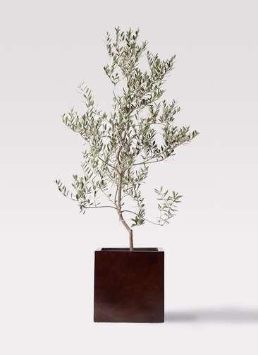 観葉植物 オリーブの木 10号 レッチーノ MOKU キューブ 付き